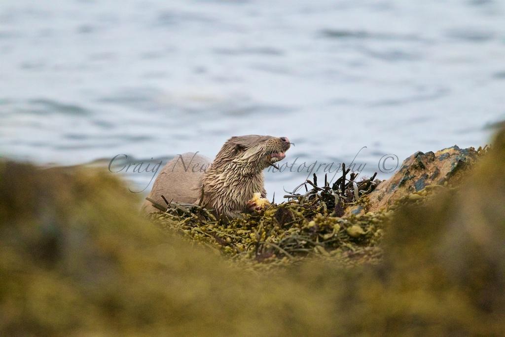 European Otter (Lutra lutra), Shetland Islands, Scotland