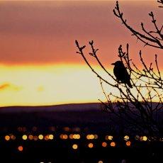 Carrion Crow (Corvus corone), Willowbrae, Edinburgh, Scotland