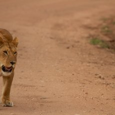African Lion (Panthera leo nubica), Serengeti NP, Tanzania