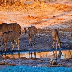 Greater Kudu (Tragelaphus strepsiceros), Nata, Botswana