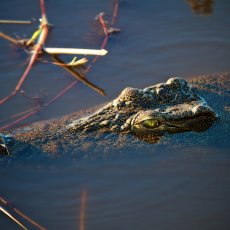 Nile Crocodile (Crocodylus niloticus), Chobe NP, Botswana