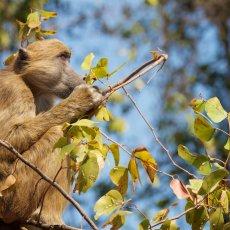 Chacma Baboon (Papio ursinus), Victoria Falls, Zambia