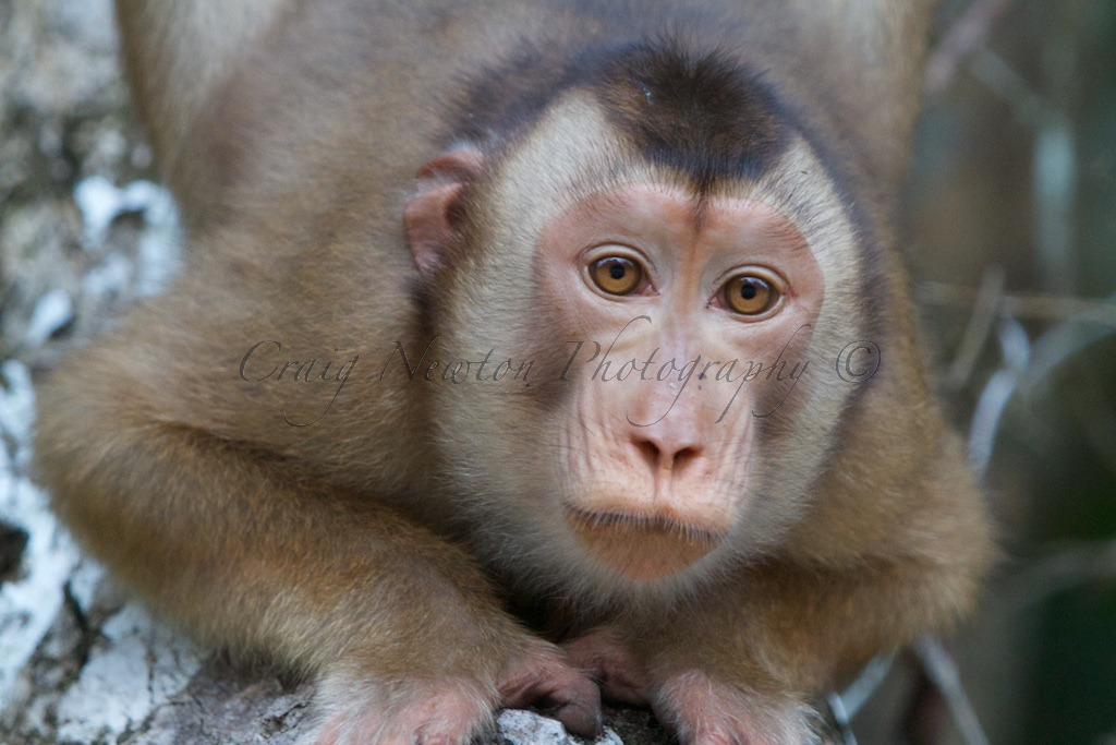 Southern Pig-tailed Macaque (Macaca nemestrina), Kinabatangan Wildlife Sanctuary, Sabah, Malaysia