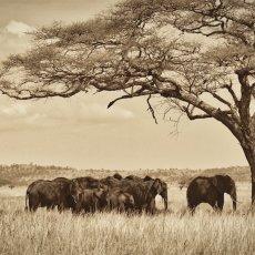 African Bush Elephants (Loxodonta africana), Serengeti NP, Tanzania