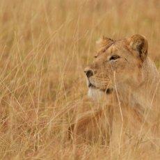 African Lion (Panthera leo nubica), Ngorongoro Conservation Area, Tanzania