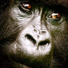 Mountain Gorilla (Gorilla beringei beringei), Volcanoes NP, Rwanda