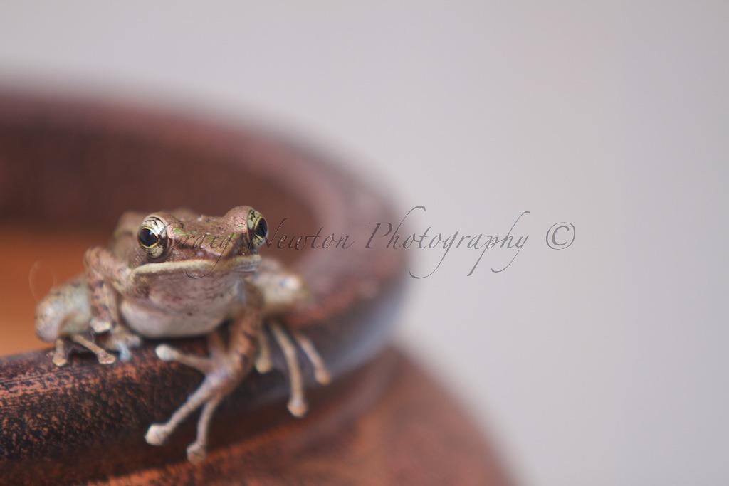 Javan Torrent Frog (Huia masonii), Bukit Lawang, Sumatra, Indonesia