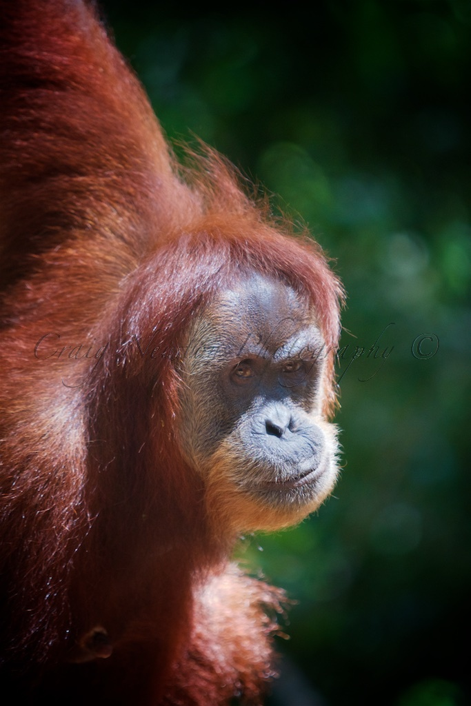 Sumatran Orangutan (Pongo abelii), Gunung Leuser NP, Sumatra, Indonesia