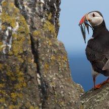 Atlantic Puffin (Fratercula arctica), Isle of May, Scotland