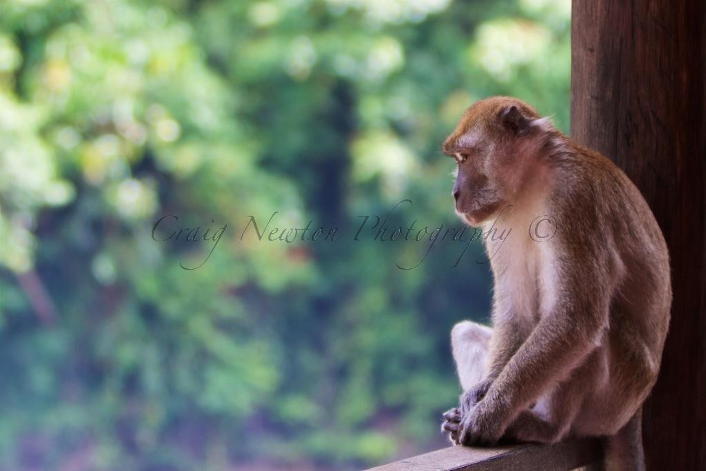 Crab-eating Macaque (Macaca fascicularis), Bukit Lawang, Sumatra, Indonesia