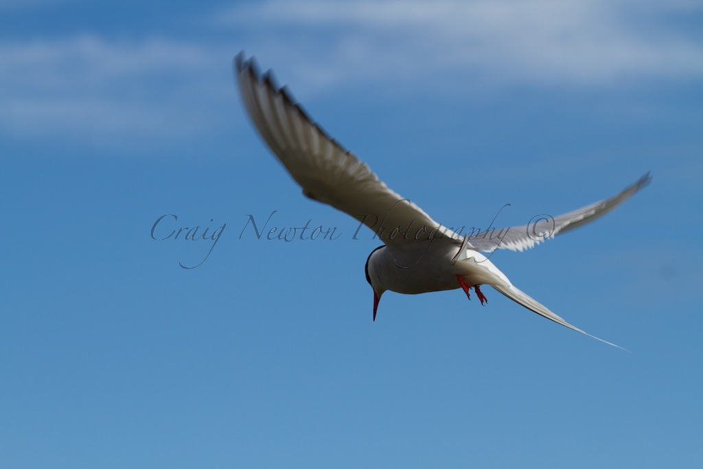 Arctic Tern (Sterna paradisaea), Isle of May, Scotland
