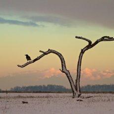 Hooded Crow (Corvus cornix), Hortobagy NP, Hungary