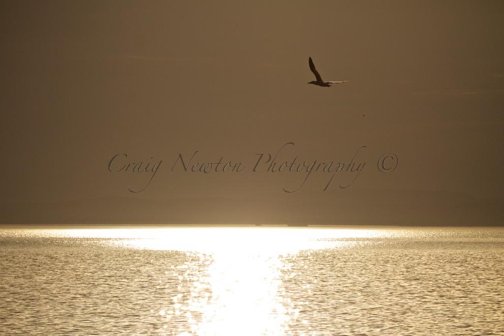 Northern Gannet (Morus bassanus), Aberlady Bay, Scotland