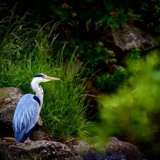 Grey Heron (Ardea cinerea), Holyrood Park, Edinburgh, Scotland