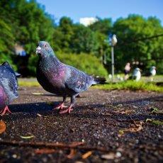 Feral Pigeons (Columba livia domestica), Leith, Edinburgh, Scotland