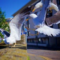 European Herring Gulls (Larus argentatus), Leith, Edinburgh, Scotland
