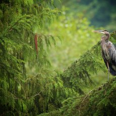 Great Blue Heron (Ardea hernias), Capilano, British Columbia, Canada