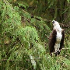 Osprey (Pandion haliaetus), Capilano, British Columbia, Canada