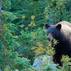 American Black Bear (Ursus americans), Whistler, British Columbia, Canada