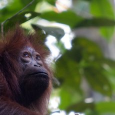 Bornean Orang-utan (Pongo pygmaeus), Kinabatangan Wildlife Sanctuary, Sabah, Malaysia