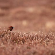 Red Grouse, (Lagopus lagopus scotica), Cairngorms NP, Scotland