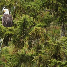 Bald Eagle (Haliaeetus leucocephalus), Clayoquot Sound, British Columbia, Canada