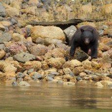 American Black Bear (Ursus americans), Tofino, British Columbia, Canada