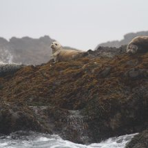 Harbour Seals (Phoca vitulina), Clayoquot Sound, British Columbia, Canada