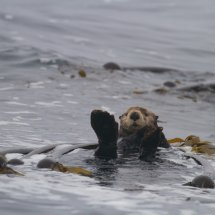Sea Otter (Enhydra ultras), Clayoquot Sound, British Columbia, Canada