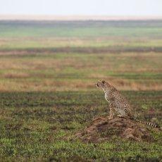 East African Cheetah (Acinonyx jubatus raineyii), Serengeti NP, Tanzania