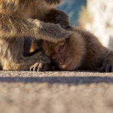 Barbary Macaques (Macaca sylvanus), Upper Rock Nature Reserve, Gibraltar