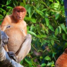 Proboscis Monkey (Nasalis larva's), Kinabatangan Wildlife Sanctuary, Sabah, Malaysia