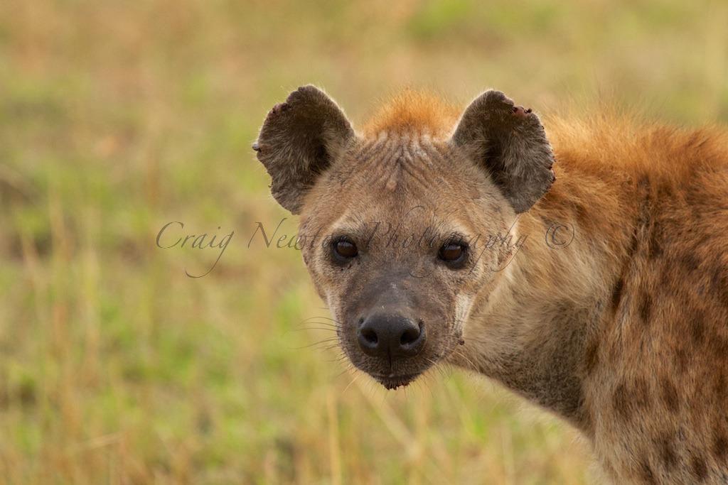 Spotted hyena (Crocuta crocuta), Serengeti NP, Tanzania
