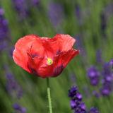 Poppy/Lavender