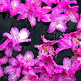 Floating Rhododendron Petals