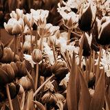 Mono Tulips