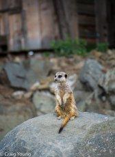 Meerkat 2 (1 of 1)