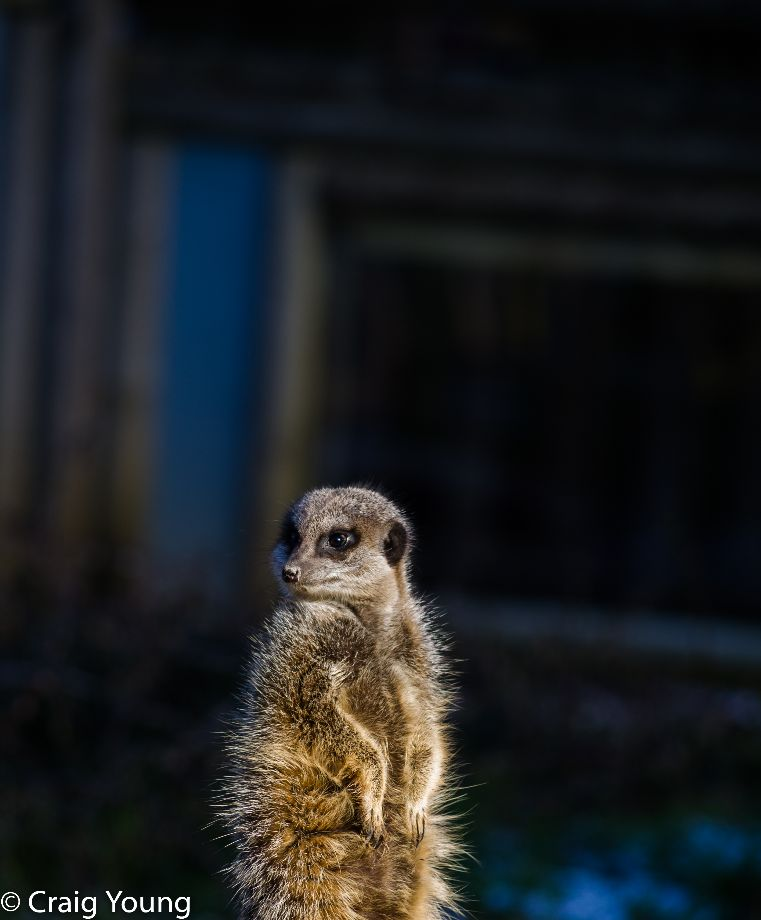 Meerkat 6 (1 of 1)