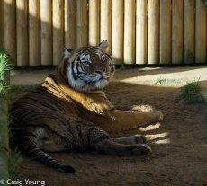 Tiger 4 (1 of 1)