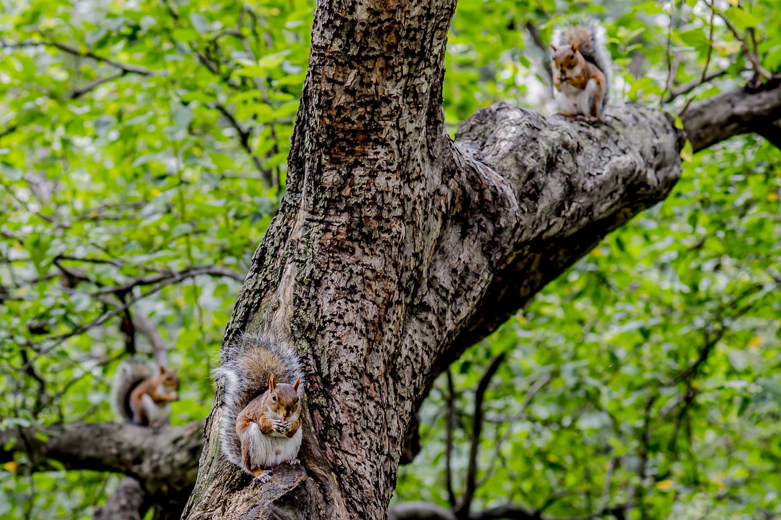 3 Squirrels eating nuts in Madison Park NY