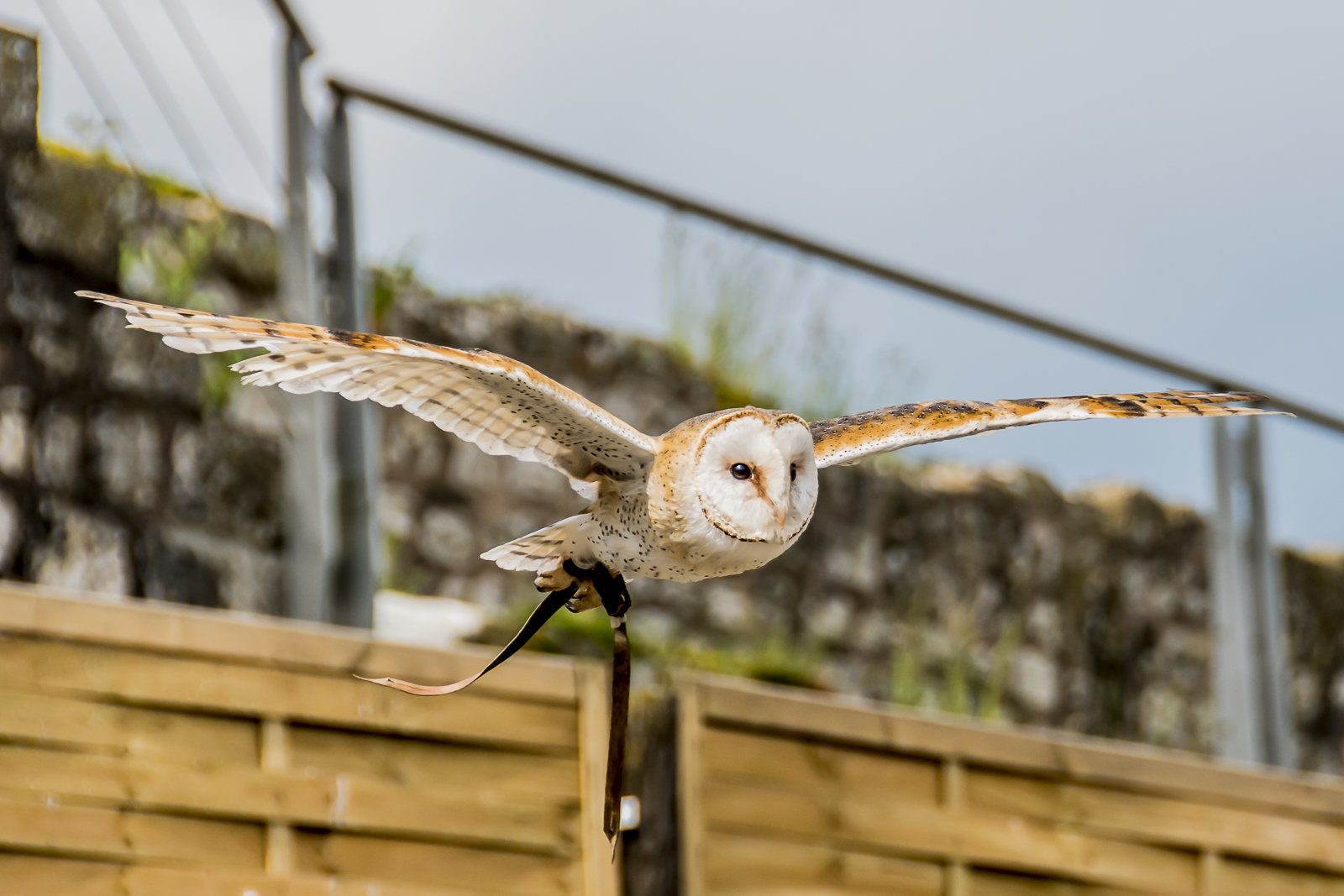 Barn Owl in flight, Provins