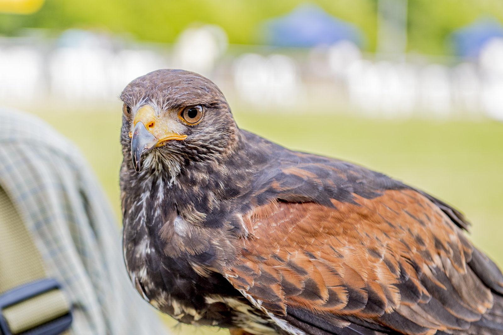 Golden Eagle with handler