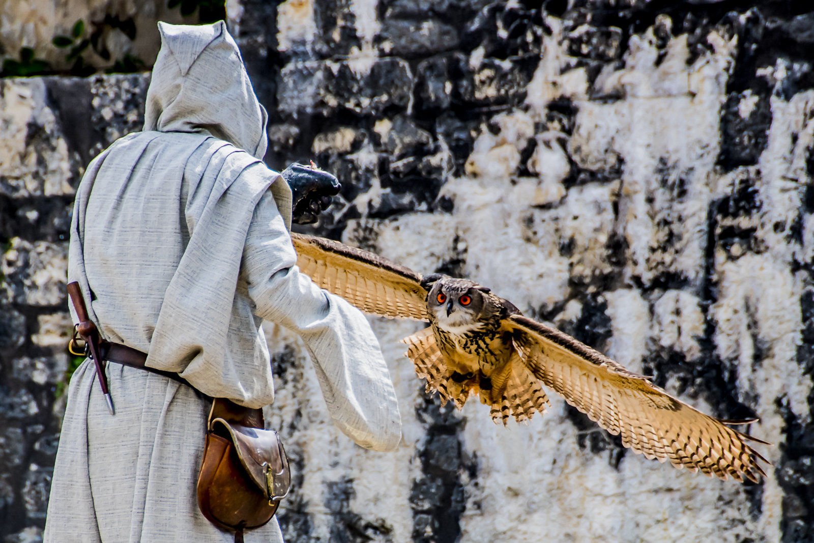 Owl coming in to land with handler, Provins