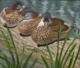 Gina Hardy-Pensthorpe Ducks