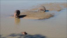 3 of Zambia's many hippos.  (Hippopotamus amphibius)