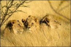 Lazing Lions  (panthera leo)