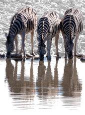 Stripes and ripples.  Buechell's zebra  - equus burchellii