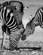 A tasty patch?   Burchell's Zebra  - equus burchellii