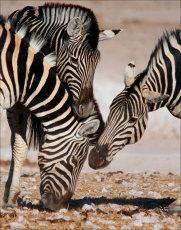 Jostling zebra.  Burchell's Zebra  - equus burchellii