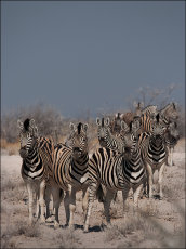 Alert!  Burchell's Zebra  - equus burchellii